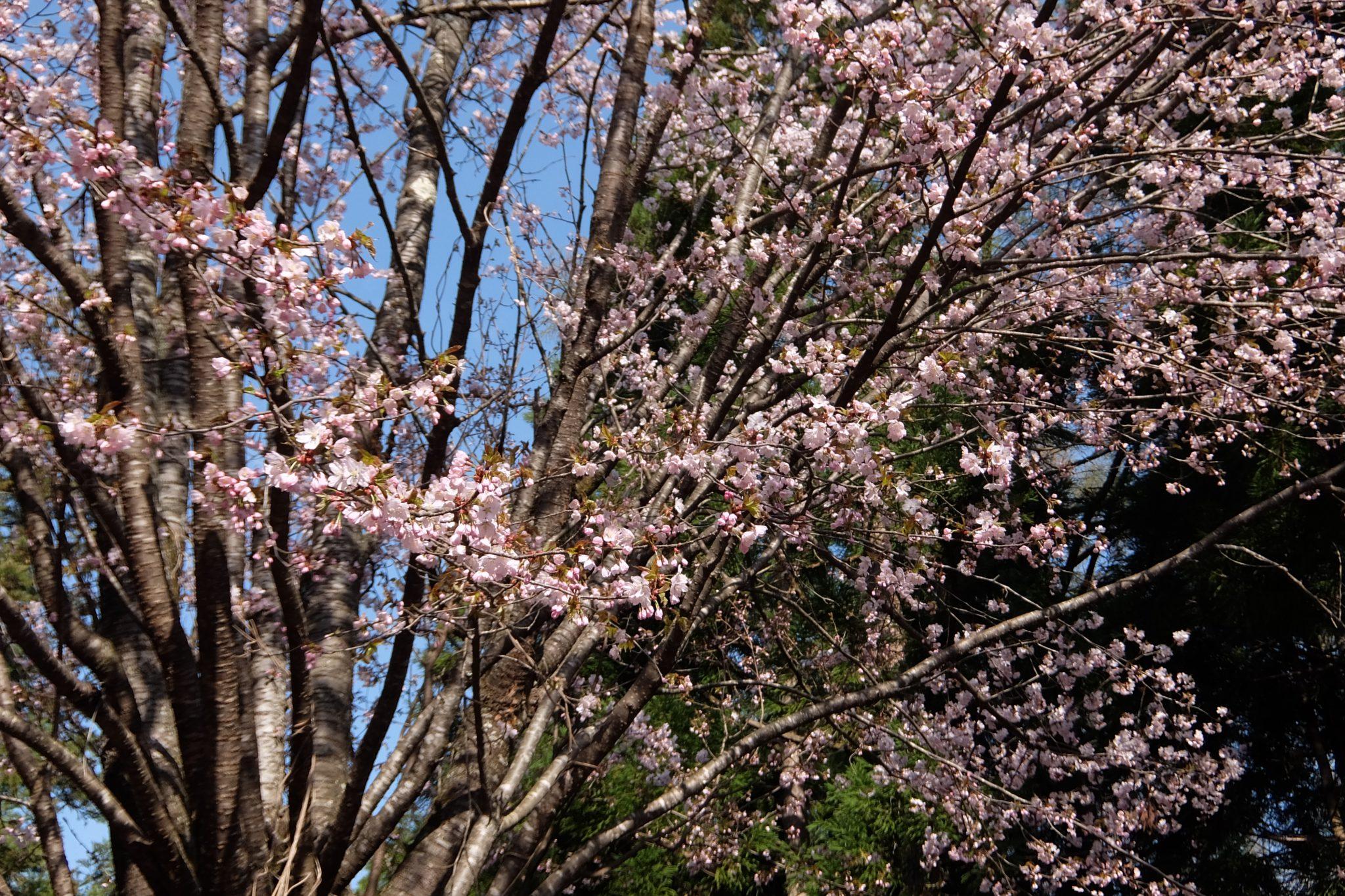 桜満開でーす。